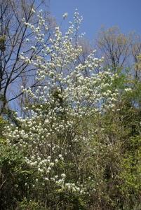 160415白い花の木2