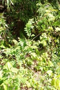 160426山椒の木