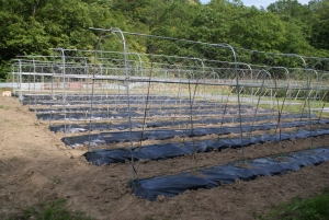 160520トマトの圃場