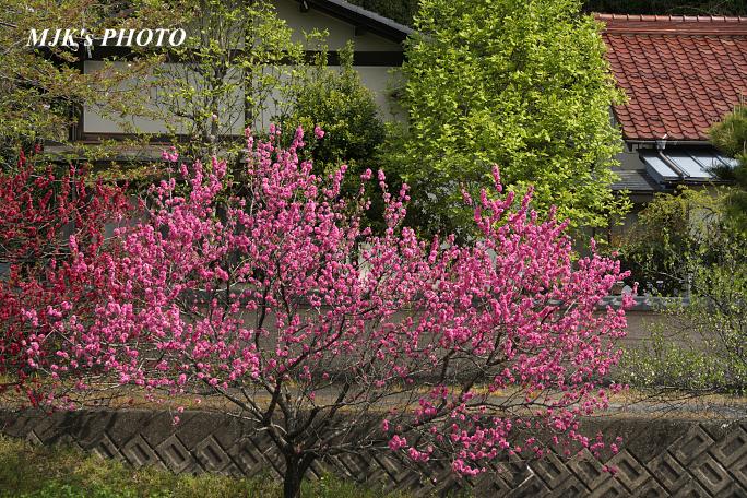 katsuragawa6135.jpg