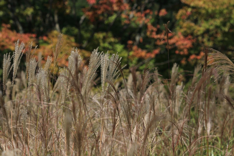 ブログ ススキの原も秋色へ.jpg