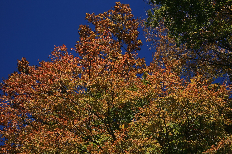 ブログ 頭上の紅葉は、秋晴れに映えています.jpg