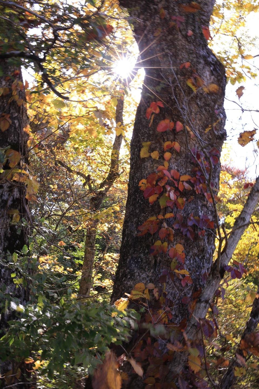 ブログ ツタを纏った大木に光芒が 2.jpg