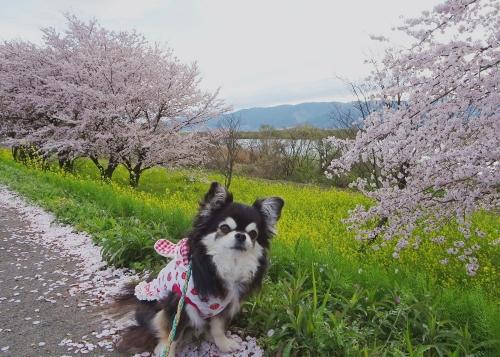 木曽長良背割堤の桜