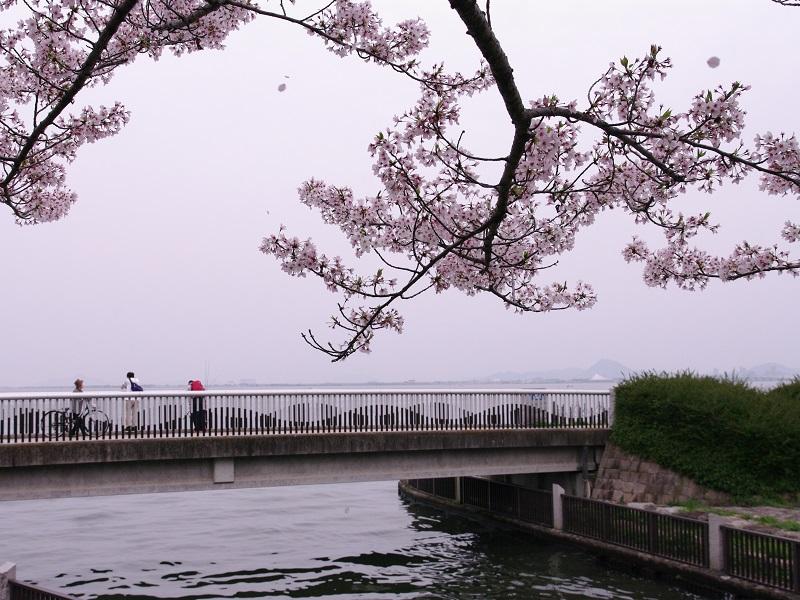 びわ湖湖岸の桜 その4