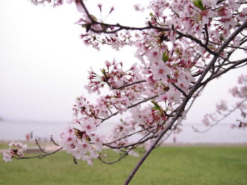 びわ湖湖岸の桜 その3