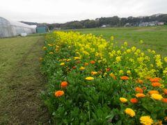 【写真】キンセンカと菜の花が咲いているポレポレ農園の花畑の様子