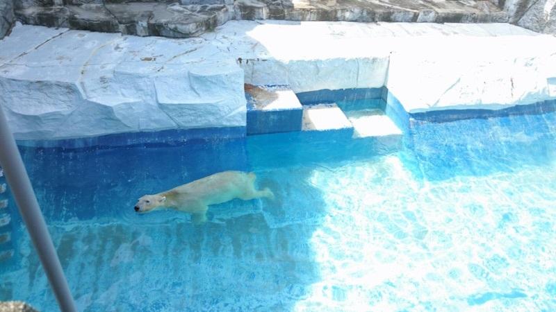 人工哺育で18才になった、とべ動物園のスーパーアイドル✨❤✨シロクマピース✌