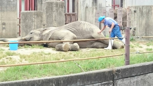 獣医さんの指示で寝転がり、大人しく健康チェックをしてもらうゾウさん✨❤✨