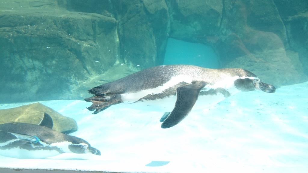 水中を飛んでいるように泳ぐペンギンさん✨❤✨