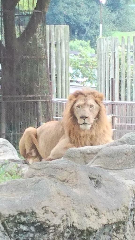 ✨百獣の王✨ライオンくん✨❤✨