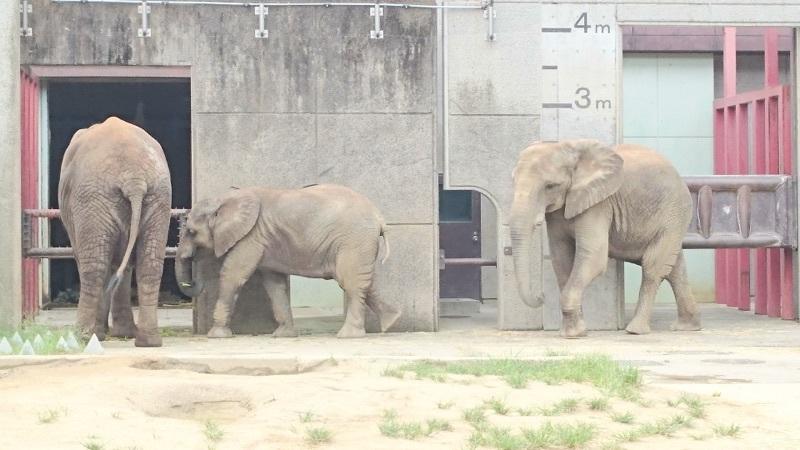 仲良しのゾウの親子✨❤✨とべ動物園では日本で唯一、アフリカゾウが家族で一緒に暮らしています(*^_^*)