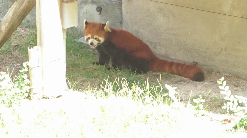 とべ動物園あにまる総選挙2018、超かわいい部門第一位に輝いた、レッサーパンダの砥々丸(ととまる)くん✨❤✨