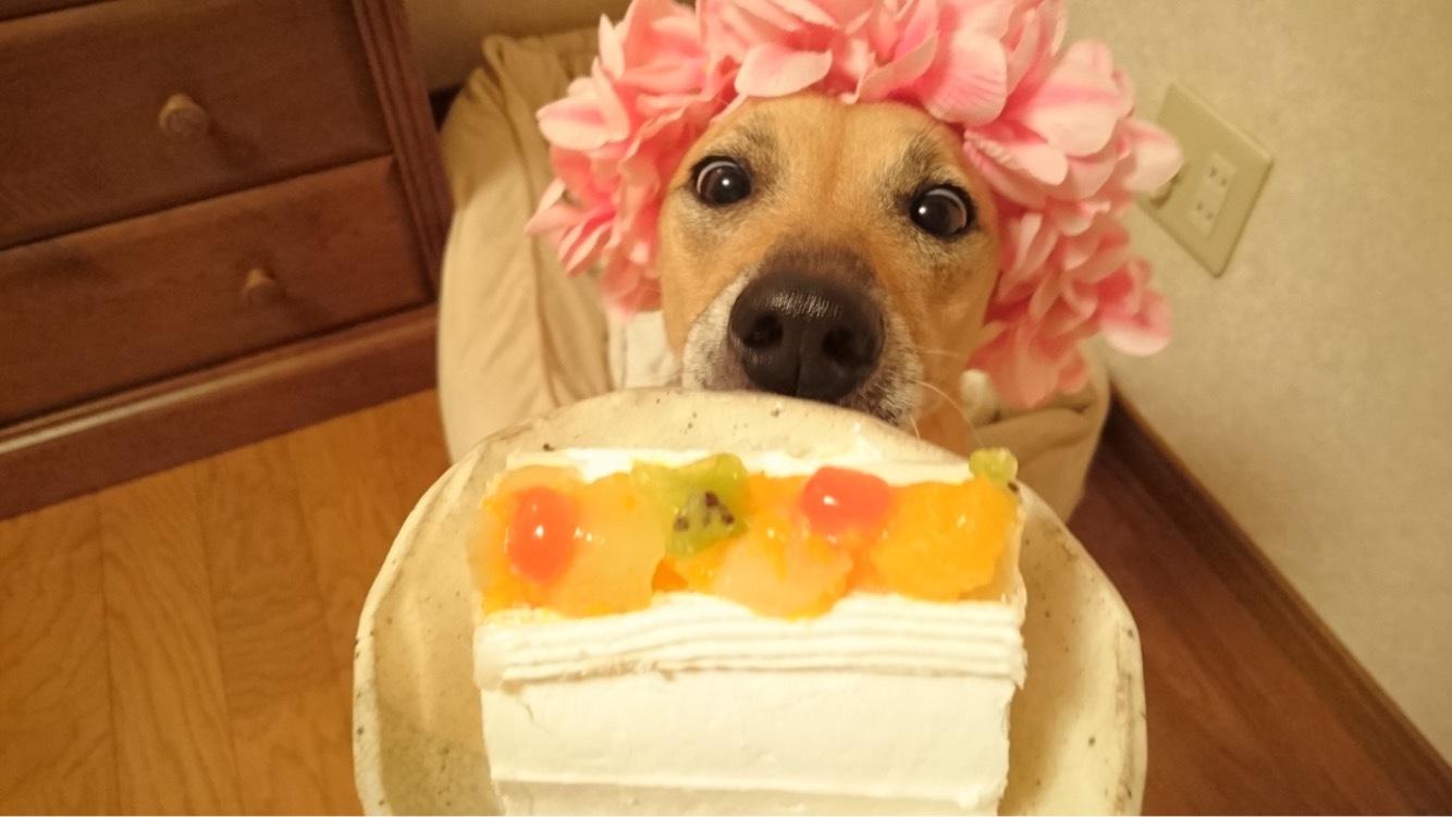 マリリン✨❤✨6歳のお誕生日を迎えることができました✨🎂✨ペット用ケーキを一緒に食べました❤甘さ控えめでペロリでした😋