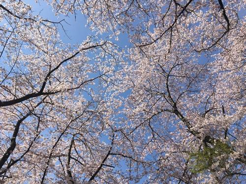 里山の桜700