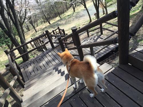 里山の桜15