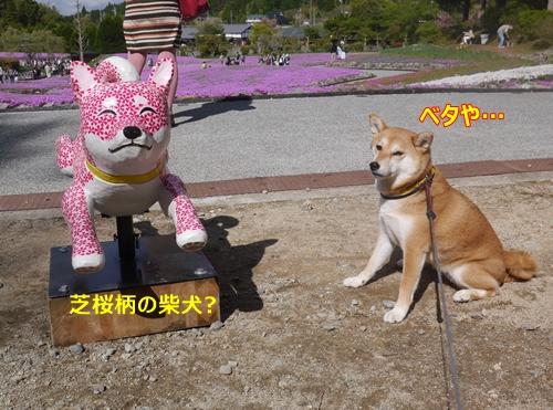 6芝桜と芝桜がらの柴犬