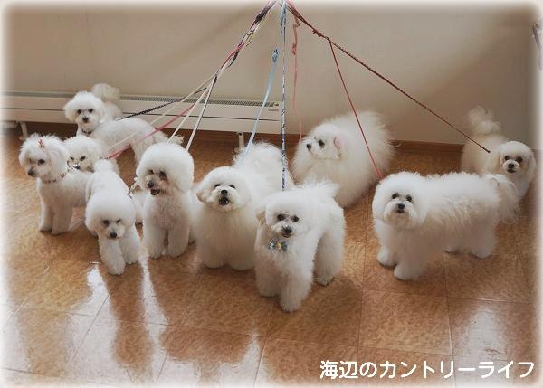 北海道ボロニーズのオフ会in札幌