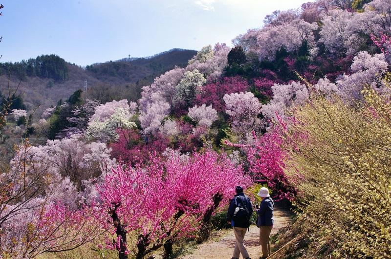公園中腹の桜