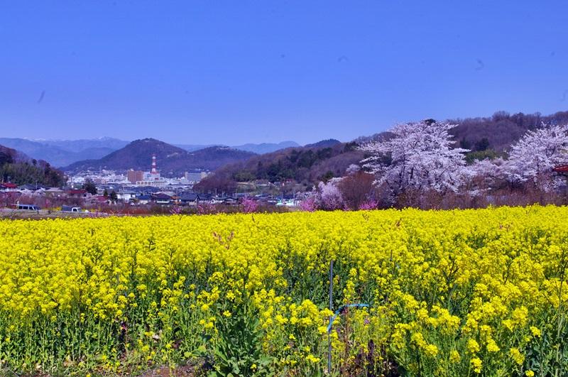 菜の花畑から福島市内望む