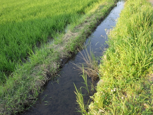 田んぼの用水路 (3)