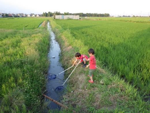 田んぼの用水路 (9)