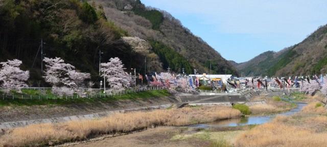 DSC_8709鯉のぼりと桜