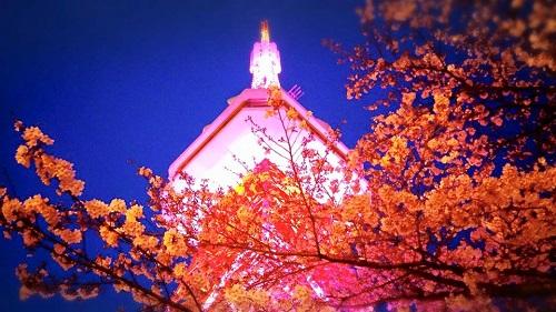 八幡山 桜満開です!