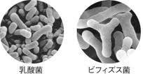 乳酸菌ビフィズス菌