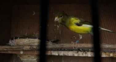 canary1.jpg