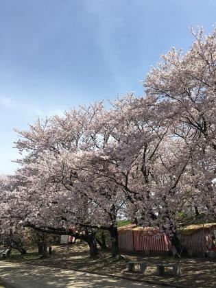 2016 0407 桜