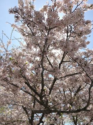 2016 0407 桜2