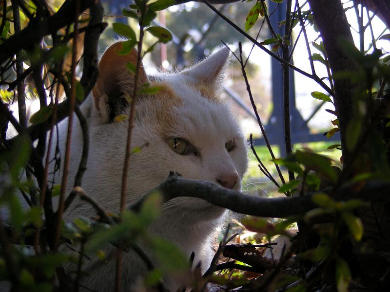 茂みの白三毛猫1