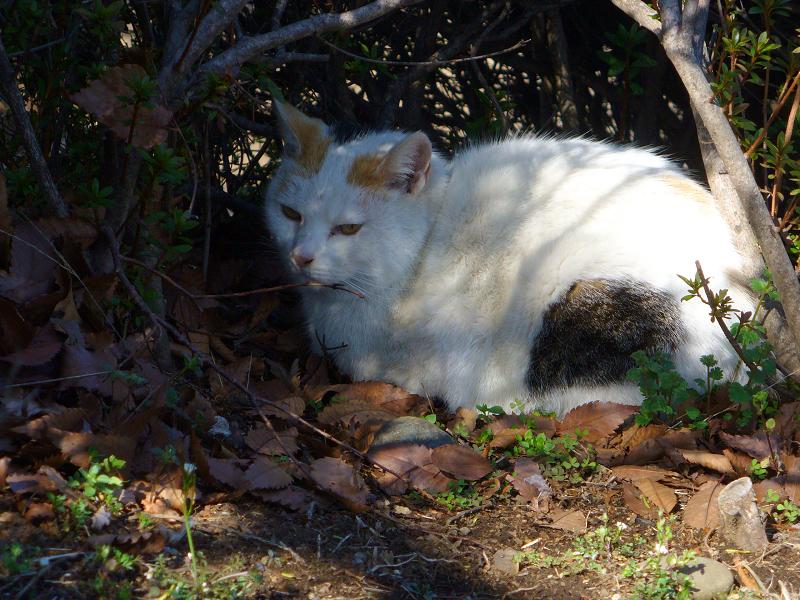 茂みの白三毛猫2