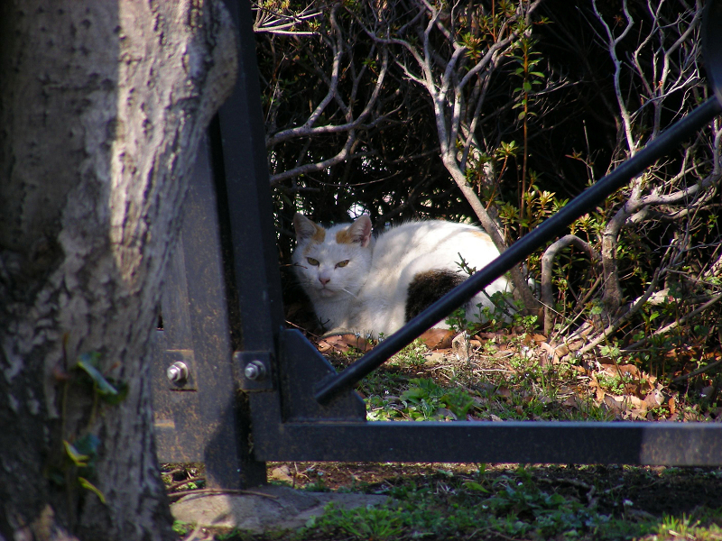 茂みの白三毛猫3