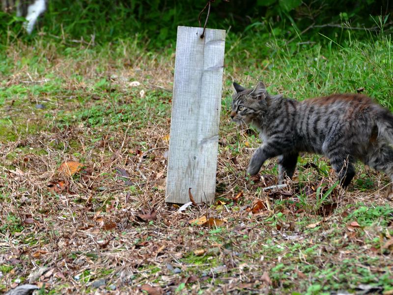 空き地の毛長キジ猫1