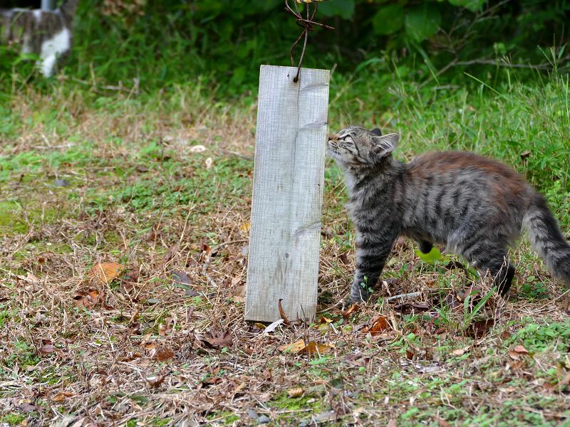空き地の毛長キジ猫2