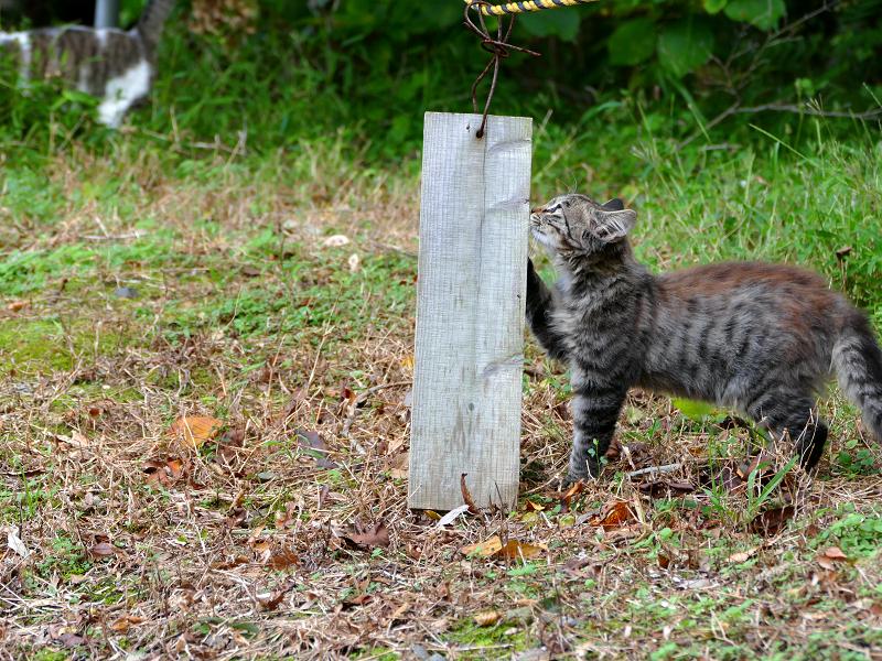 空き地の毛長キジ猫3