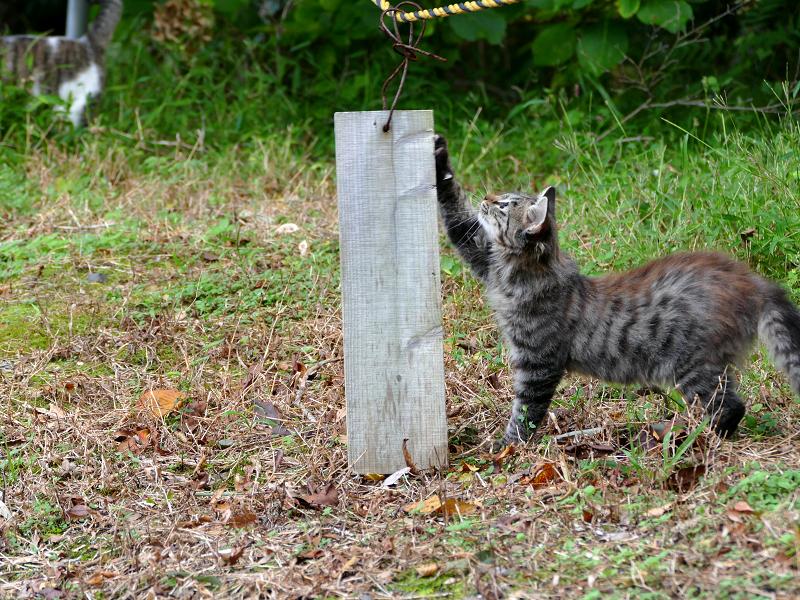 空き地の毛長キジ猫4