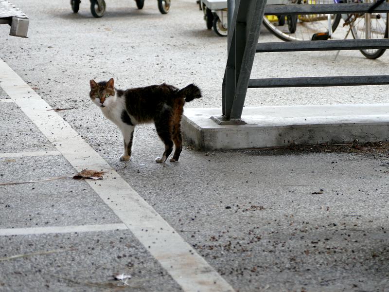 大型駐車場のキジ白猫1