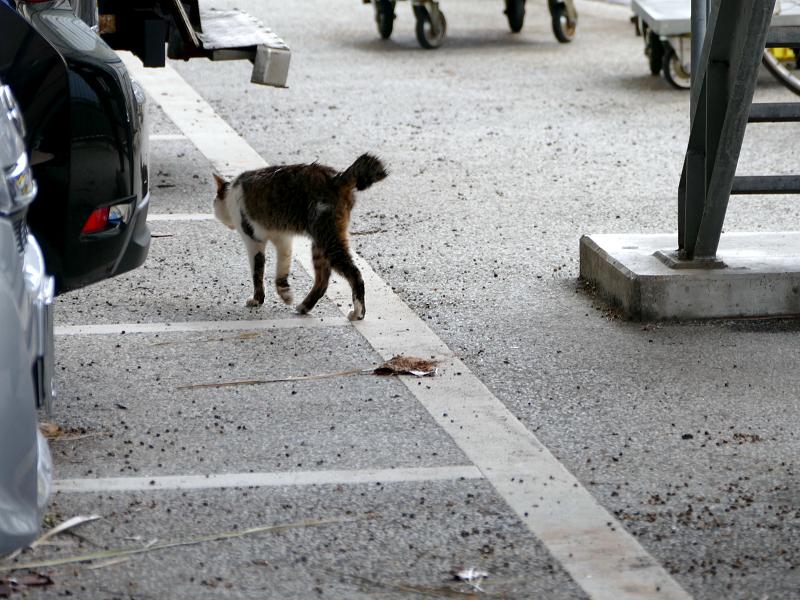 大型駐車場のキジ白猫2