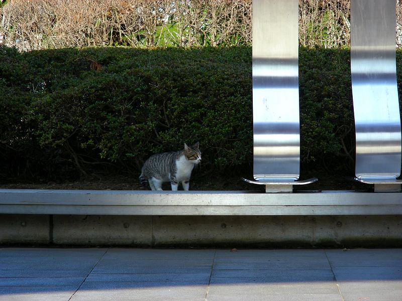 公園長いベンチのキジ白猫1