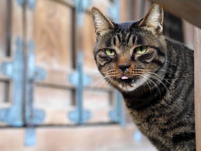 お堂扉前のキジトラ猫1