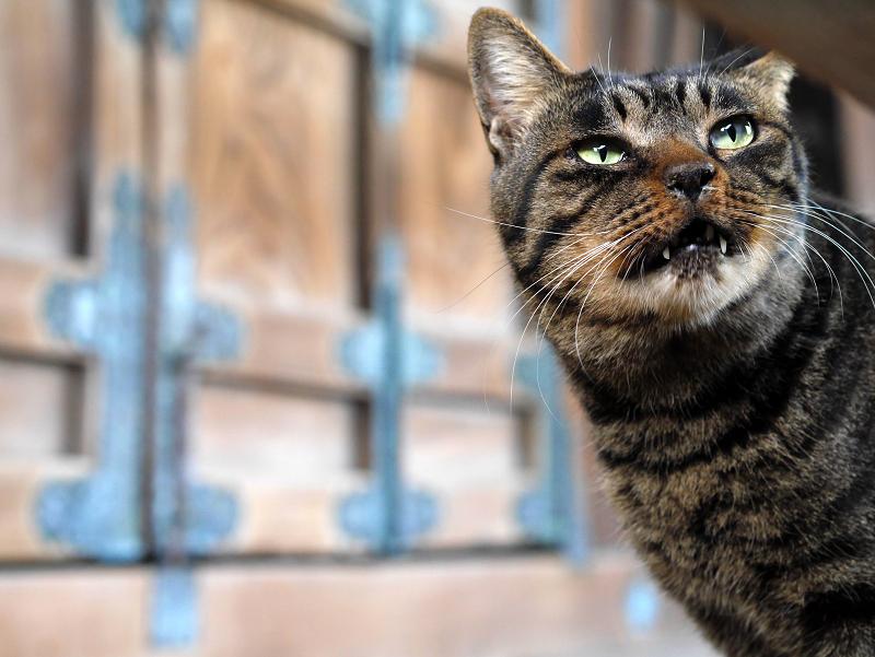 お堂扉前のキジトラ猫2