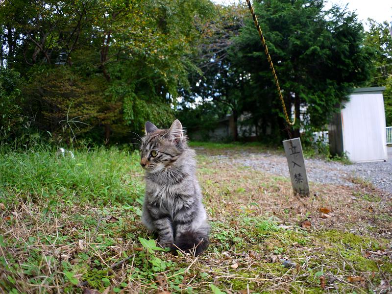 空き地で見つめる毛長のキジトラ猫1