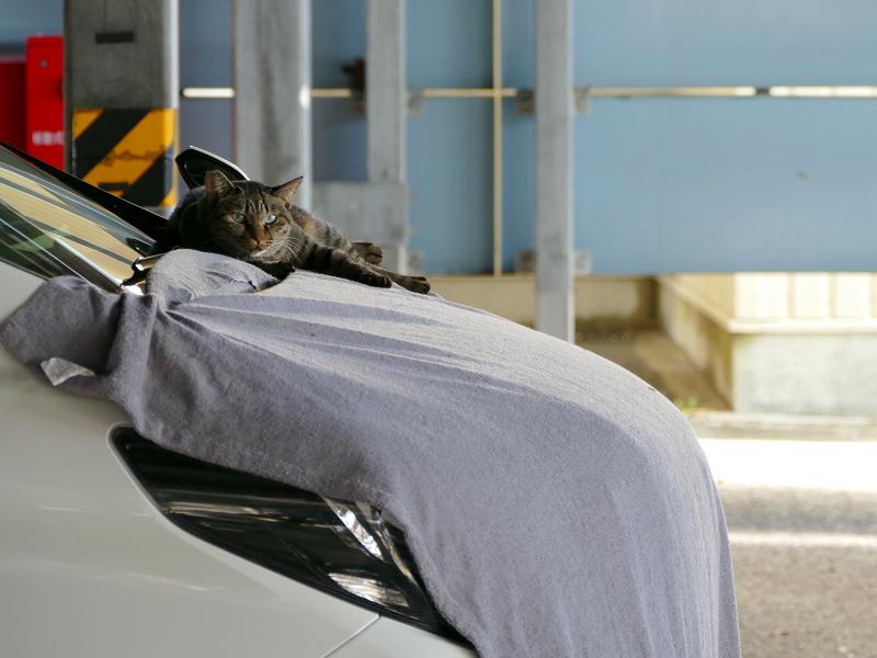 車ボンネットのキジトラ猫1