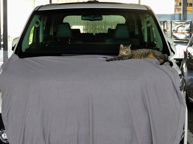 車ボンネットのキジトラ猫2