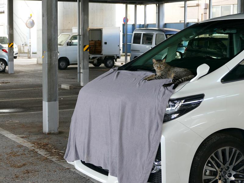 車ボンネットのキジトラ猫3