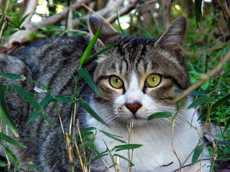 公園茂みのキジ白猫1