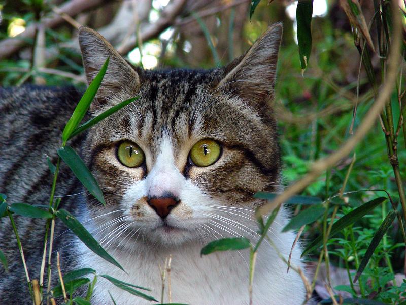 公園茂みのキジ白猫2